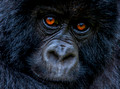 Close Encounters with breathtaking Mountain Gorillas in Rwanda - July 2012