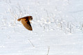 Barn owl hunt sequence #1