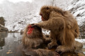 Snow Monkeys, Japan 2010