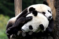 Wolong Nature Reserve: Pandas at the epicenter