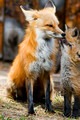 Foxes 5-7-2011