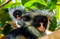 "Exotic Zanzibar, the ""Spice Islands"" of Arab slave trading, & outrageous Red Colobus Monkeys - July 2012"