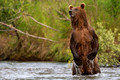 Brown Bears (Coastal Grizzly)