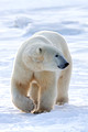 Polar Bears and More 2014