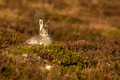 Mountain Hare in Spring, Summer & Autumn